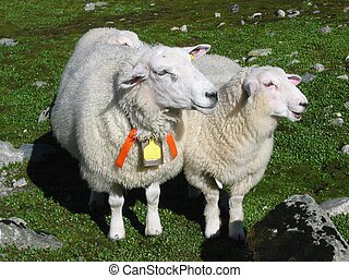 Two sheeps - A sheep mother and her lamb