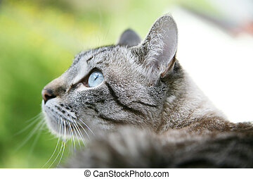 Beautiful Cat - Beautiful siamese cat looking outside