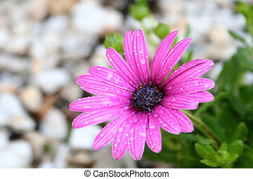 African Daisy - A single purple African Daisy