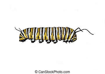 Monarch caterpillar - Caterpillar of the monarch...