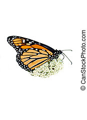 Monarch butterfly - Adult monarch butterfly feeding on Queen...