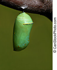 Monarch chrysalis - Chrysalis of the monarch butterfly