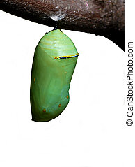 Monarch chrysalis - Chrysalis of the monarch butterfly...