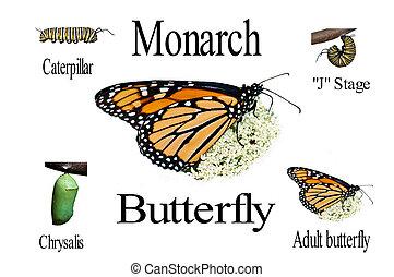 monarca, vida, ciclo