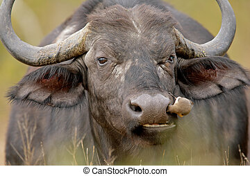 African buffalo - Portrait of an African buffalo with...