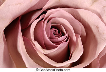 Rose Petals - Photo of a Lavender Rose