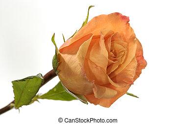 Peach Rose - Photo of a Orange / Peach Rose