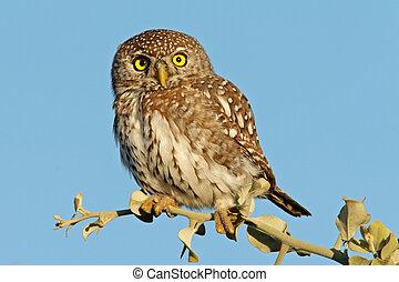 Pearl-spotted owl (Glaucidium perlatum), Kruger National...