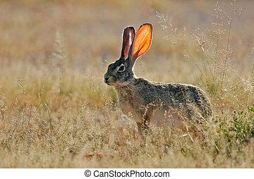 Scrub hare - Alert scrub hare among grass, Etosha National...