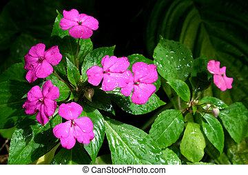 Impatient Plants - Purple flowering Impatient  plants