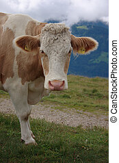 Cow Face - Cow head and shoulders