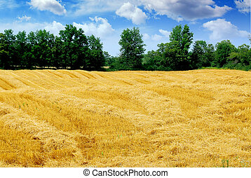 Harvested grain field - Farm field with yellow harvested...