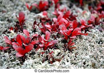 Lichen and bearberry plants growing in Interior Alaska