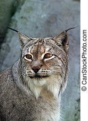 Lynx - A lynx looking