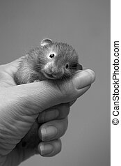 Small hamster - 4 - Small hamster in a female hand