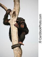 Chimpanzee - Climbing monkey