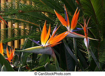 Birds of paradise - A group of bird of paradise flowers