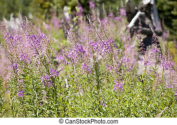 Stock Photo of Purple Wildflowers - Photo of a beautiful,...