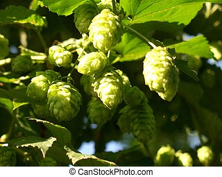Hop taken up f down - Some hop umbels, taken up from down