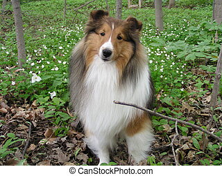 Spring Sheltie - My Shetland Sheepdog, Pineacres Spirit of...