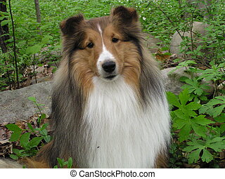 Sheltie Face - My Shetland Sheepdog, Pineacres Spirit of...