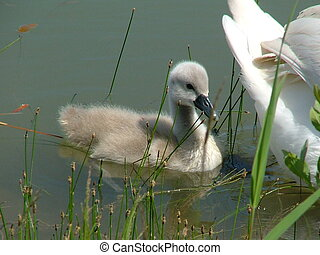 Cygnet - Family of swans