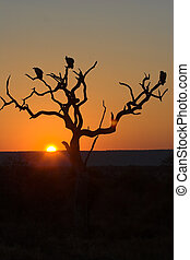 Sunset in Kruger Park - three vultures are perching on dead...
