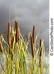 reeds with cloudy sky brewing