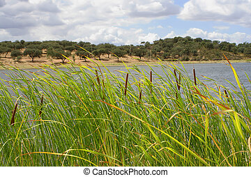 reeds with tree landscape in the background