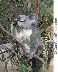 Koala - Dinner for koala bear (Australia)