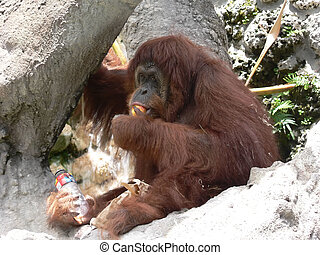 Orang-Utan eating an apple