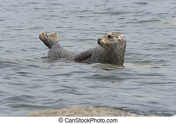 common seal - Common seal basking off the coast of Bute,...