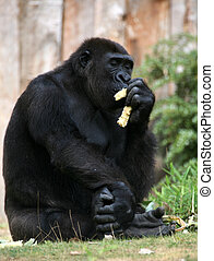 Gorilla - Sitting and eating Gorilla gorilla in a zoo
