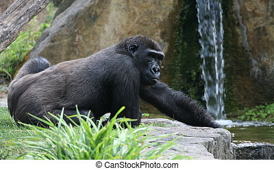 Gorilla in a zoo in front of a waterfall