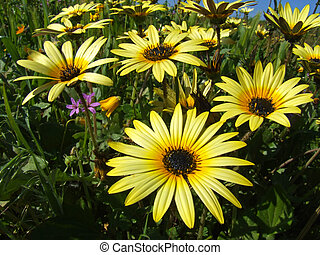 Daisy flowers - Yellow daisy flowers in spring