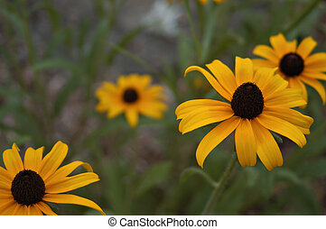 Black eyed Susans - A small group of black eyed susans