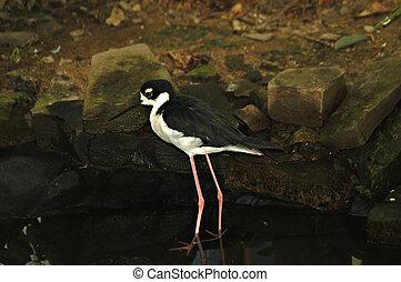 Black necked Stilt - Black necked stilt standing in a pool...