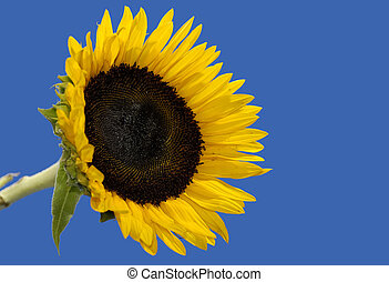 Sunflower - Photo of a Sunflower
