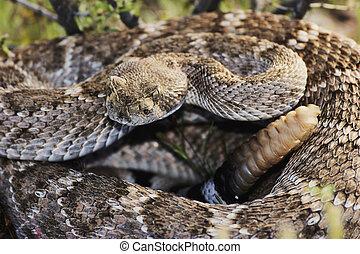 Occidental, espalda diamantada, serpiente de cascabel