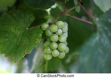 Cluster of a grapes in sharpness