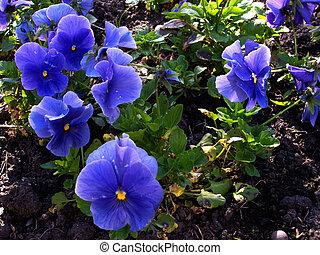 viola flowers 01