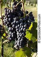 Chianti, winogrona