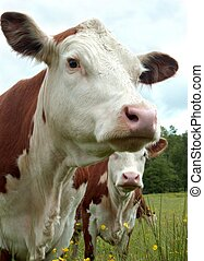Cows pride - A prideful herford cow poses for the camera...