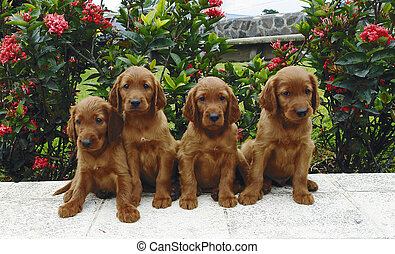 Four setter puppies - Four two months old pure breed red...