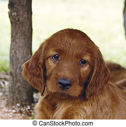 Irish setter puppy - Extremly cute two months old pure breed...