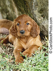 Irish setter puppy - Two months old pure breed red irish...