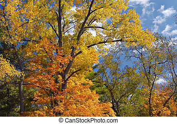 Autumn Trees - Colorful autumn trees against blue sky with...