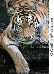 Tiger - Beautiful Siberian Tiger in a zoo