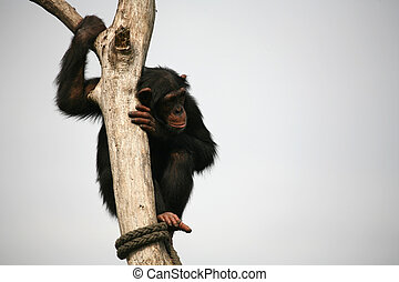 Chimpanzee - Climbing monkey on a tree in a zoo