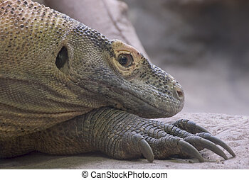 Komodo Dragon 1 - flesh eating Komodo Dragon with claws,...